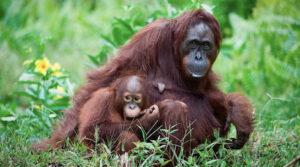 Mammy and baby Orangutan